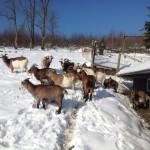 UNIVITA - Gut Holmecke - Winteraussicht Ziegen