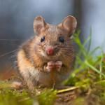 UNIVITA - Gut Holmecke - Maus