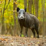 UNIVITA - Gut Holmecke - Wildschwein